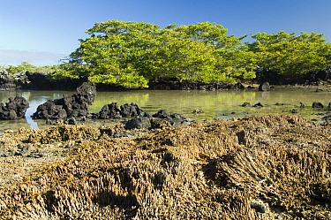 Coral heads exposed after uplift in and , White Mangrove (Laguncularia racemosa), Urvina Bay, Isabela Island, Galapagos,  -  Krystyna Szulecka/ FLPA