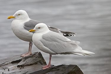 Iceland Gull (Larus glaucoides) adult, standing beside Herring Gull (Larus argentatus), Varangerfjord, Finnmark, Norway  -  Roger Tidman/ FLPA