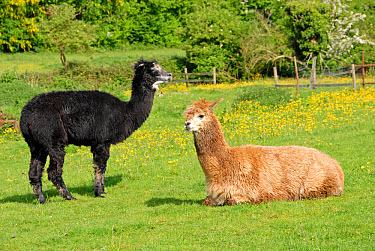 Alpaca (Lama pacos) adults, kept as domestic pet, in paddock, Hertfordshire, England  -  Nick Spurling/ FLPA