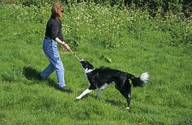 Domestic Dog, Border Collie, playing tug-of-war with owner, England  -  Roger Tidman/ FLPA
