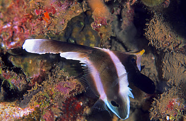 Pennant Bannerfish (Heniochus chrysostomus), Waigeo Island, Raja Ampat, West Papua, Indonesia  -  Colin Marshall/ FLPA