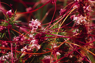 Clover Dodder (Cuscuta epithymum) flowering, parasitic on Gorse (Ulex sp), Reserve Naturelle du Pinail, Vienne Region, France  -  Richard Becker/ FLPA