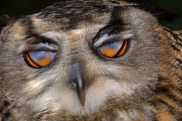 Eurasian Eagle-Owl (Bubo bubo) adult, head, closed nictitating membrane (third eyelid), captive  -  Malcolm Schuyl/ FLPA