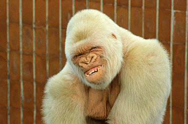 Western Lowland Gorilla (Gorilla gorilla gorilla) 'Snowflake', adult male, albino, Parc Zoologic de Barcelona  -  David Hosking/ FLPA