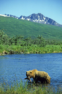 Kodiak Bear (Ursus arctos middendorffi) adult, feeding on salmon in river, Kodiak Island, Alaska  -  Mark Newman/ FLPA