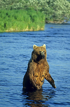 Kodiak Bear (Ursus arctos middendorffi) adult, standing in river, Kodiak Island, Alaska  -  Mark Newman/ FLPA