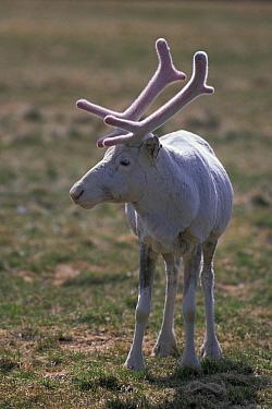 Caribou (Rangifer tarandus) albino  -  Hannu Hautala/ FLPA