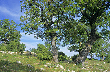 High wood pasture, Downy Oak, Field Maple, Hornbeam, herb rich understorey with Prickly Juniper, Gargano, Puglia, Southeast Italy  -  Peter Wilson/ FLPA