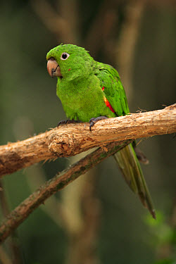 White-eyed Parakeet (Aratinga leucophtalmus) adult, perched on branch, Pantanal, Mato Grosso, Brazil  -  Jurgen and Christine Sohns/ FLPA