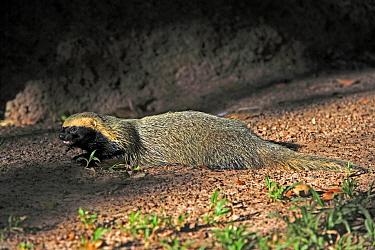 Lesser Grison (Galictis cuja) adult, resting, Pantanal, Mato Grosso, Brazil  -  Jurgen and Christine Sohns/ FLPA