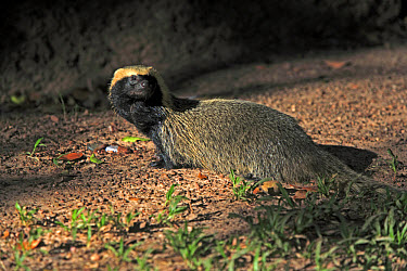 Lesser Grison (Galictis cuja) adult, standing, Pantanal, Mato Grosso, Brazil  -  Jurgen and Christine Sohns/ FLPA