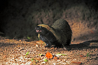Lesser Grison (Galictis cuja) adult, standing, baring teeth, Pantanal, Mato Grosso, Brazil  -  Jurgen and Christine Sohns/ FLPA