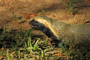 Lesser Grison (Galictis cuja) adult, head, Pantanal, Mato Grosso, Brazil  -  Jurgen and Christine Sohns/ FLPA