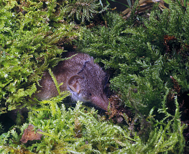 Greater White-toothed Shrew (Crocidura russula) head showing in moss  -  David Hosking/ FLPA