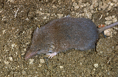 Greater White-toothed Shrew (Crocidura russula) adult, on soil, Spain  -  B. Borrell Casals/ FLPA