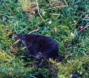 Pygmy Shrew (Sorex minutus), on moss  -  David Hosking/ FLPA