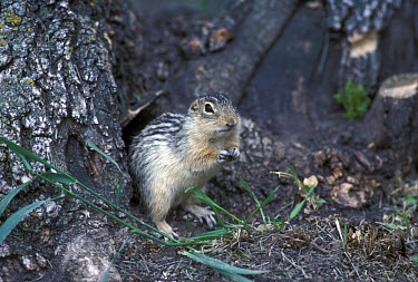 Thirteen Lined Ground Squirrel (Citellus tridecemlineatus)  -  David Hosking/ FLPA