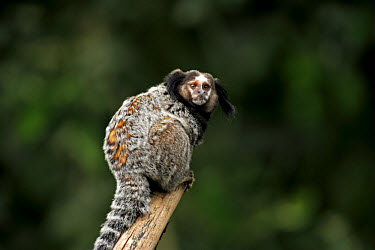 Kuhl's Marmoset (Callithrix kuhlii) adult, on branch, Pantanal, Mato Grosso, Brazil  -  Jurgen and Christine Sohns/ FLPA