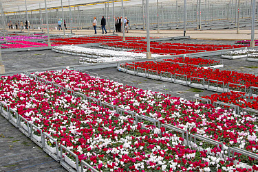 Trays of Cyclamen (Cylamen persicum), in commercial nursery during open day, West Sussex, England  -  Nick Spurling/ FLPA