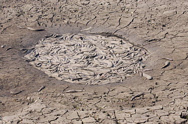 Dead fish in dried-up freshwater lake, during winter dry season, Kruger National Park, Mpumalanga, South Africa  -  Andrew Forsyth/ FLPA