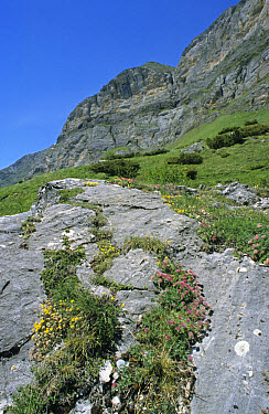 Limestone rocky alpine pasture, with Rockrose and Mountain Kidney Vetch, Lower Val du Ossoue, near Gavarnie, French Pyrenees, France  -  Peter Wilson/ FLPA