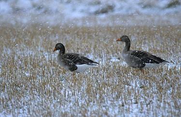 Greylag Goose (Anser anser) two adults, feeding in stubble field, in snow, Scotland  -  Michael Callan/ FLPA