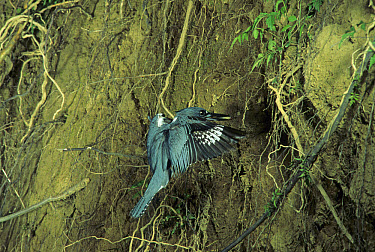 Belted Kingfisher (Ceryle alcyon) adult, in flight, arriving at nest burrow, fish in beak, Ohio  -  S & D & K Maslowski/ FLPA