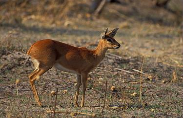 Steenbok (Raphicerus campestris) female standing alert, Okavango, Bostwana  -  Michael Callan/ FLPA