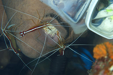 Hump-back Cleaner Shrimp (Lysmata amboinensis) adults, cleaning divers teeth, Lembeh Straits, Sulawesi, Indonesia  -  Colin Marshall/ FLPA