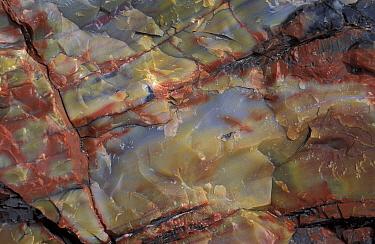 Geology-Fossils Wood Detail of Petrified Wood Arizona  -  Catherine Mullen/ FLPA