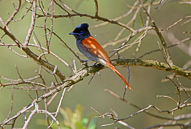 African Paradise-Flycatcher (Terpsiphone viridis) adult, perched on twig, Hell's Gate National Park, Kenya  -  Neil Bowman/ FLPA