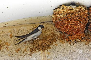 Common House Martin (Delichon urbica) adult, nest building, adding mud, under building eaves, England  -  Tony Hamblin/ FLPA