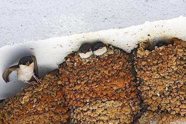 Common House Martin (Delichon urbica) adult, leaving nest, chicks in nest, under building eaves, England  -  Tony Hamblin/ FLPA