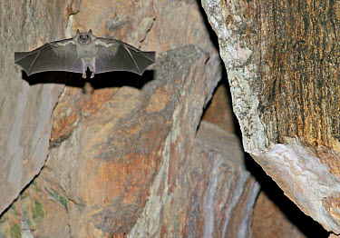 Egyptian Fruit Bat (Rousettus aegyptiacus) adult female, in flight, in daytime roosting cave, Cyprus  -  S. Charlie Brown/ FLPA