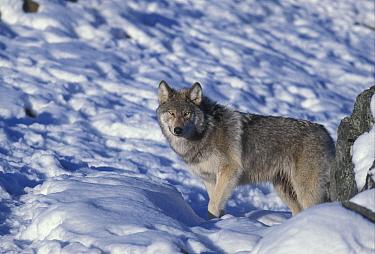 European Wolf (Canis lupus) standing in snow  -  Michael Callan/ FLPA