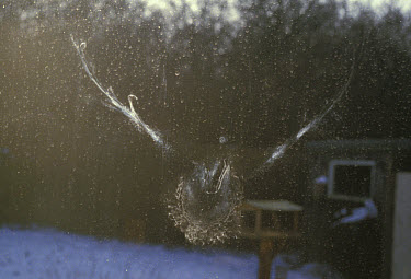 Birds Collision with Glass, impression left by Wood Pigeon on window  -  David Hosking/ FLPA
