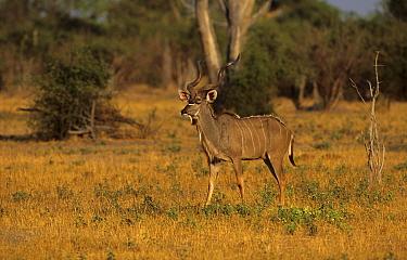 Greater Kudu (Tragelaphus strepsiceros) adult male, walking in habitat, Okavango, Botswana  -  Michael Callan/ FLPA
