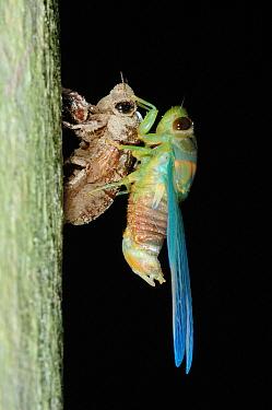 Emerald Cicada (Cicadoidea) adult, drying wings, newly emerged from nymphal skin, in rainforest, Kinabatangan River, Sabah, Borneo, Malaysia  -  Hugh Lansdown/ FLPA