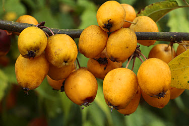 Toringa Crabapple (Malus zumi) 'Golden Hornet', close-up of fruit, planted in orchard as pollinator, Shropshire, England  -  Richard Becker/ FLPA