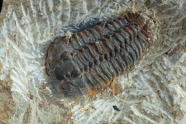Trilobite (Gravicalymene arcuata) Ordovician fossil, from Ashgill formations of North Wales  -  Richard Becker/ FLPA