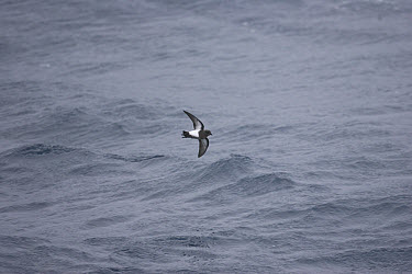 Black-bellied Storm-Petrel (Fregetta tropica) adult, in flight over sea, South Atlantic Ocean, South Georgia Island  -  Roger Tidman/ FLPA