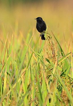 Pied Bushchat (Saxicola caprata) adult male, perched on rice, Northern Thailand  -  Neil Bowman/ FLPA