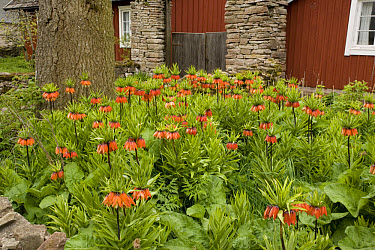 Crown Imperial (Fritillaria imperialis) flowering, mass in garden  -  Bob Gibbons/ FLPA