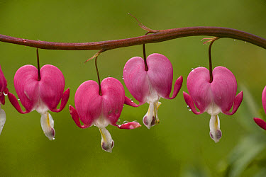Pacific Bleeding Heart (Dicentra formosa) close-up of flowers, after rain  -  Bob Gibbons/ FLPA