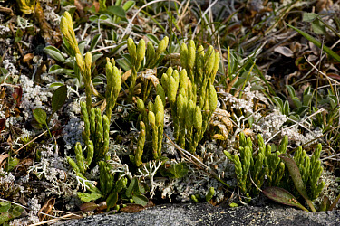 Alpine Clubmoss (Lycopodium alpinum) with fertile branches, Scotland  -  Bob Gibbons/ FLPA