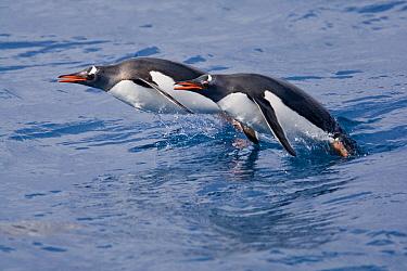 Gentoo Penguin (Pygoscelis papua) two adults, porpoising, swimming at sea, Cooper Bay, South Georgia Island  -  Dickie Duckett/ FLPA