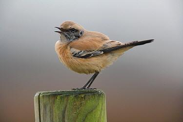 Desert Wheatear (Oenanthe deserti) adult male, calling, perched on post, Norfolk, England  -  Neil Bowman/ FLPA