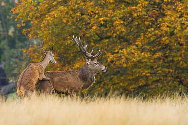 Red Deer (Cervus elaphus) hind mounting stag, role reversal behaviour during rut, England  -  Elliott Neep/ FLPA