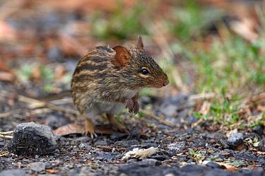 Striped Grass Mouse (Lemniscomys sp) adult, standing on hind legs at roadside, Lake Naivasha, Kenya  -  Neil Bowman/ FLPA