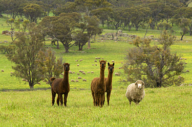 Alpaca (Lama pacos) three adults, with Merino Sheep, abandoned flock and behaves like alpacas, Narrogin, Western Australia  -  Krystyna Szulecka/ FLPA